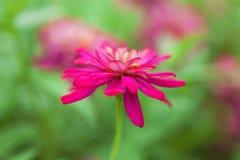生动的洋红色花在庭院里 库存图片