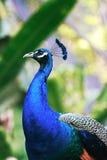 生动美丽的孔雀 库存图片