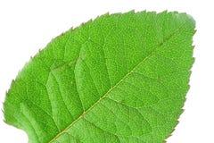 生动详细资料绿色的叶子 免版税库存照片