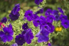 生动,紫色喇叭花 库存照片