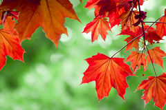 生叶槭树红色 免版税库存图片
