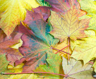 生叶槭树 库存图片