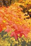 生叶槭树 库存照片