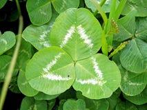 生叶的三叶草和几何形状 免版税库存照片
