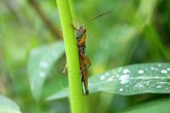 生叶的蚂蚱棍子 库存图片