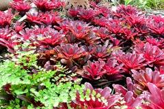 生叶红色和粉色 库存照片