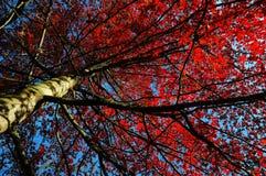 生叶红色结构树 免版税库存照片