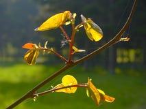 生叶结构树年轻人 库存照片