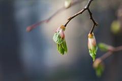 生命周期概念 桦树发芽,与新鲜的绿色叶子的胚胎射击 特写镜头树枝,软的背景 浅 免版税图库摄影