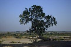 生存原野的一棵孤立树 免版税库存照片