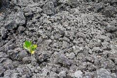 生存在火山灰的荒芜的中孤立幼木 库存图片