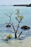生存美洲红树 免版税库存照片