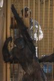医生审查一只黑猩猩 库存照片