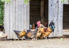 生态上被保留的鸡 图库摄影