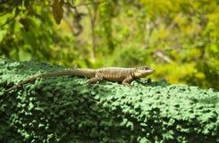 生态圣所蜥蜴 库存图片