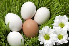 生态学鸡蛋 库存照片