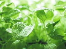 生态有机生气勃勃自然绿色背景 喇叭花年轻新芽与水滴的  r 图库摄影