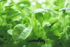 生态有机生气勃勃自然绿色背景 喇叭花年轻新芽与水滴的  r 免版税库存照片