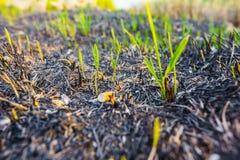 生根在灰的年幼植物 免版税库存照片