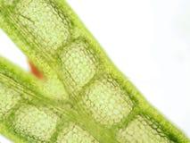 水生植物细胞 库存图片