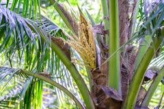 生气勃勃椰子开花在树的早午餐 库存图片