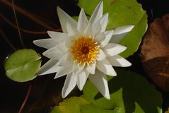生气勃勃泰国莲花,美丽,愉快 免版税库存图片