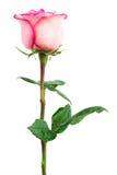 生气勃勃粉红色玫瑰 免版税库存照片