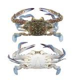 生气勃勃蓝色游泳者螃蟹或在白色隔绝的蓝色精神食粮螃蟹 免版税库存照片