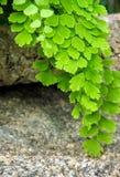 生气勃勃铁线蕨属,黑叶子茎蕨 库存图片