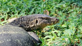 生活方式监控蜥蜴一在河沿放松 图库摄影