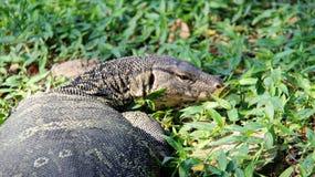 生活方式监控蜥蜴一在河沿放松 免版税库存图片