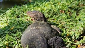 生活方式监控蜥蜴一在河沿放松 库存照片