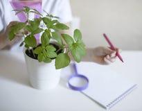 生物或植物学课措施的女小学生有统治者的发芽的绿色植物 蓬蒿叶子 生长工厂 儿童文字 库存照片