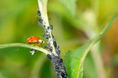 生物控制虫 免版税库存图片