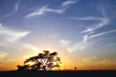 生物演化谱系图解在日落期间的一棵400年豆科灌木树 免版税图库摄影