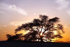 生物演化谱系图解,在日落的一棵400年豆科灌木树在巴林 免版税库存照片