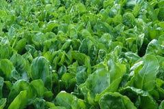 生物菠菜家庭菜园 库存图片