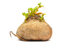 生物食物查出的白萝卜白色 免版税库存图片