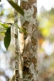 生苔叶子被盯梢的壁虎,马达加斯加野生生物 库存照片