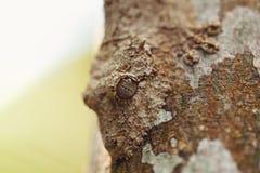 生苔叶子被盯梢的壁虎,马达加斯加野生生物 免版税库存图片