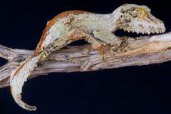 生苔叶子被盯梢的壁虎/Uroplatus sikorae 免版税图库摄影