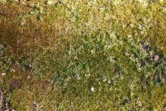 生苔地被植物 免版税库存照片