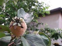 生苔柑橘 库存照片