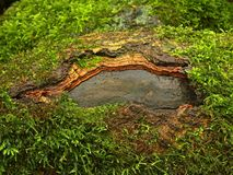 生苔树干。在树根棕色湿生苔吠声的孔。 图库摄影