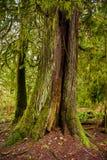 生苔树干在原始林雨林里在温哥华岛, 免版税库存照片