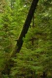 生苔树干看法在原始林雨林里在温哥华 免版税库存照片