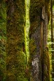 生苔树干看法在原始林雨林里在温哥华 库存照片