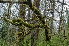 生苔树摘要3 库存照片