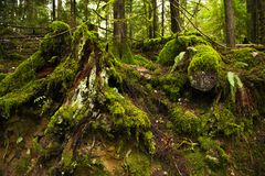 生苔树桩在原始林雨林里在温哥华岛 库存图片
