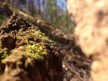 生苔树桩 库存图片
